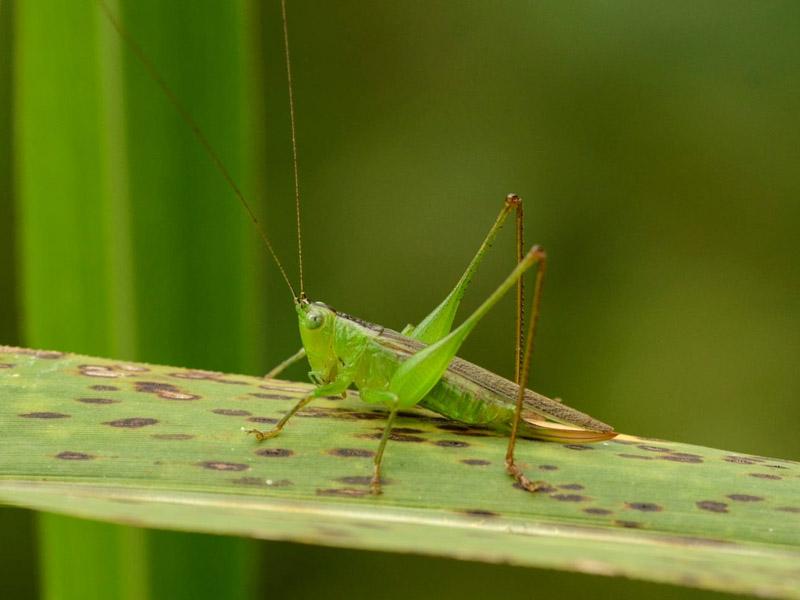 Insecto Huamboya